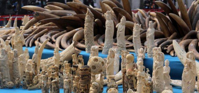 هل تعلق الصين تجارة العاج لحماية الفيلة ؟