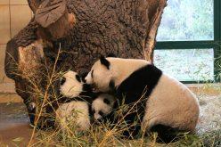 ظهور توأم الباندا لأول مرة في فيينا