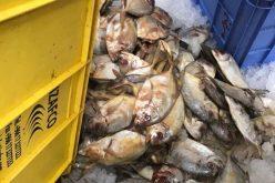 """"""" التجارة"""" تضبط أكثر من 300 كيلو غراماً من اللحوم والأسماك الفاسدة"""