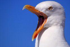 في حدث غريب ..بلجيكا تنظم مسابقة لتقليد أصوات طيور النورس